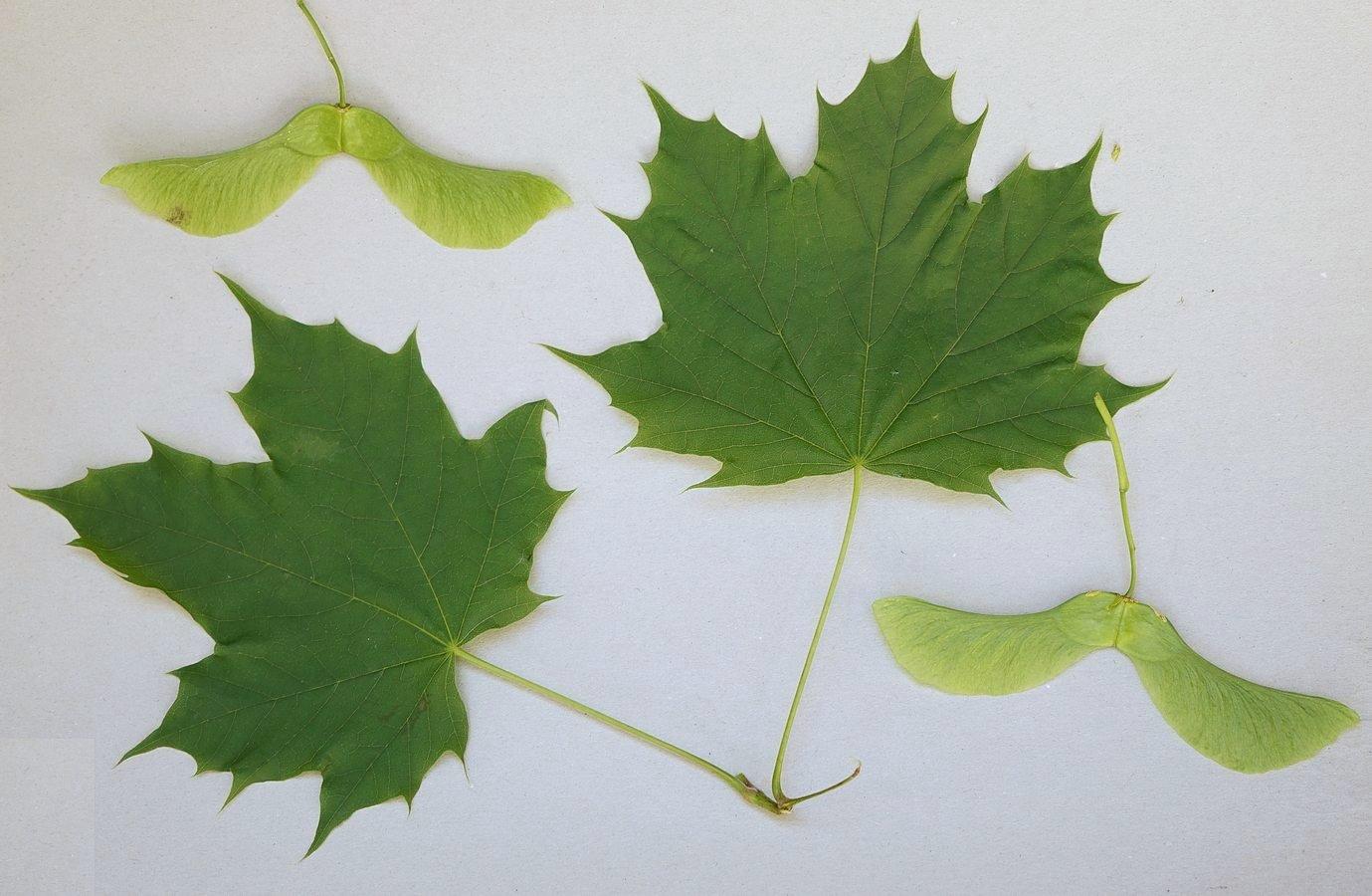 Acero riccio con samare gruppi di cammino di bollate for Acero riccio