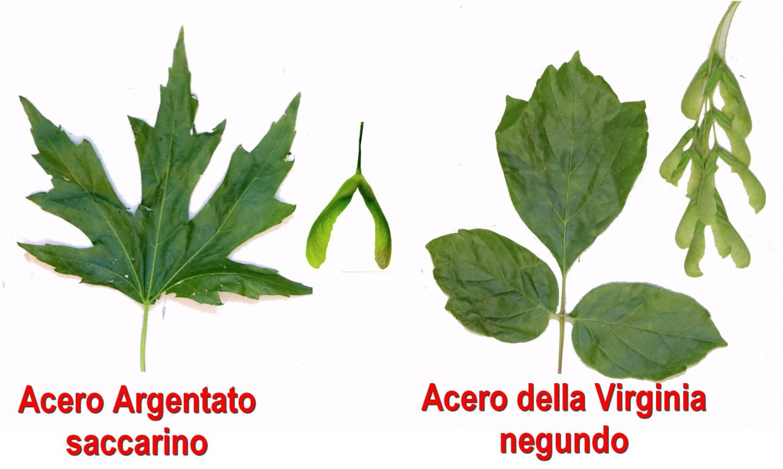 Perchè Acero Rosso Diventa Verde famiglia delle aceraceae – spindaceae (class. apg) – gruppi