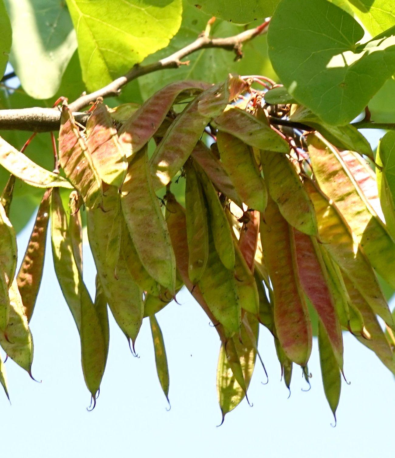 Immagini Di Piante E Alberi famiglia delle fabaceae ( = leguminosae) – gruppi di cammino