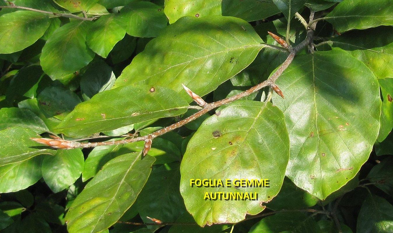 Famiglia delle fagaceae gruppi di cammino di bollate for Pianta con foglie rosse