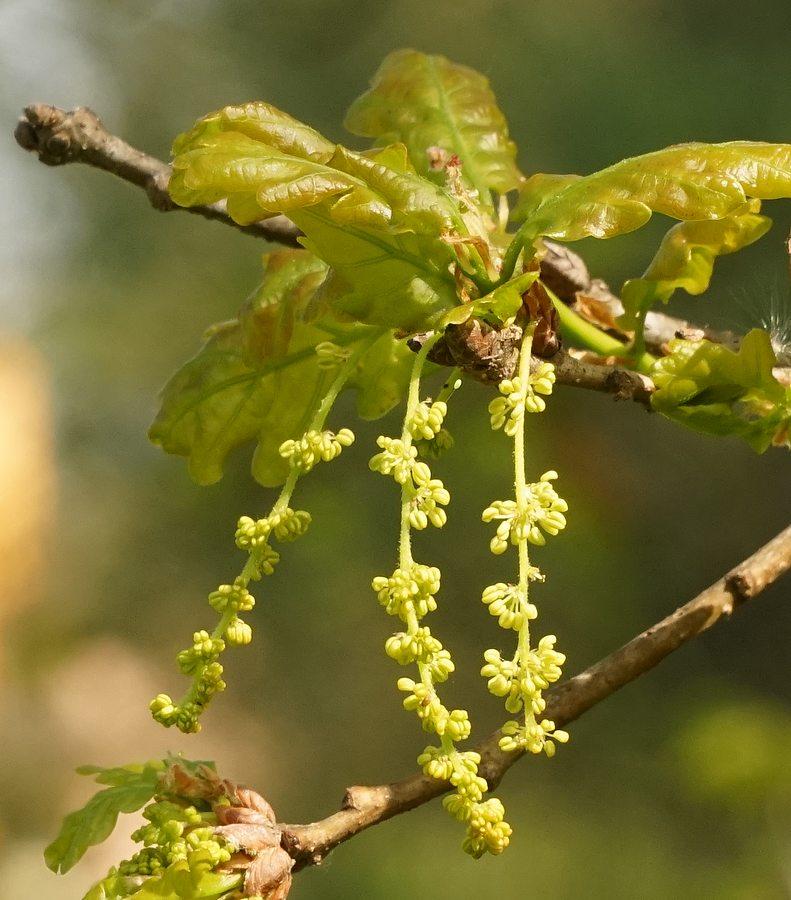 Fiori Quercia.Famiglia Delle Fagaceae Gruppi Di Cammino Di Bollate