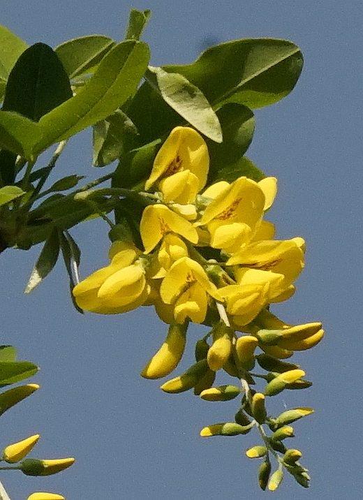 Fiori Gialli A Grappolo.Famiglia Delle Fabaceae Leguminosae Gruppi Di Cammino Di