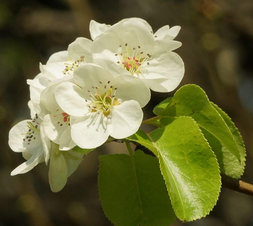 Fiori Bianchi 5 Petali.Famiglia Delle Rosaceae Crategus Peri Meli Nespolo G