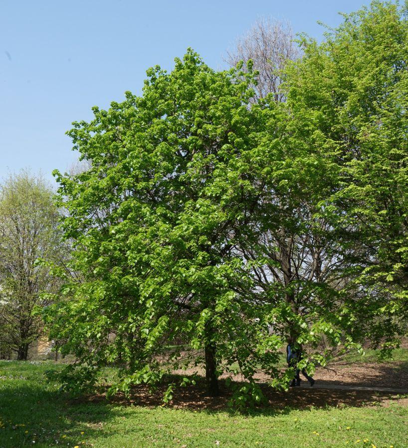 Famiglia delle tiliaceae gruppi di cammino di bollate for Tiglio albero