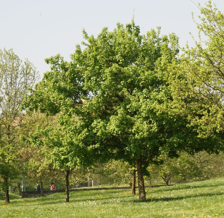 Famiglia Delle Aceraceae Spindaceae Class Apg Gruppi Di