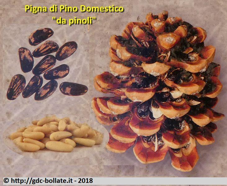 PINO DOMESTICO O PINO DA PINOLI (Pinus Pinea)